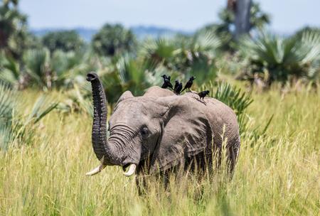 象は、Merchinson の滝国立公園で背中に鳥と草に沿って歩きます。アフリカ。ウガンダ。優秀なイラスト。