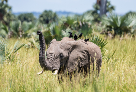 Elephant walks along the grass with a bird on its back in the Merchinson Falls National Park. Africa. Uganda. An excellent illustration.