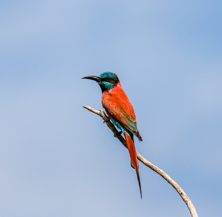 Carmine Bee-eater sits on a branch against a blue sky. Africa. Uganda. An excellent illustration.