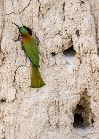 Bee-eater는 그 구멍 근처에 앉아 있습니다. 아프리카. 우간다. 훌륭한 그림. 스톡 콘텐츠