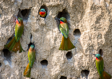 burrows: Big colony of the Bee-eaters in their burrows on a clay wall. Africa. Uganda. An excellent illustration.