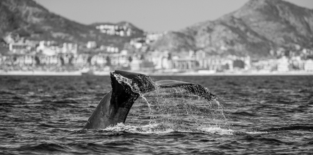Tail of the humpback whale. Mexico. Sea of ??Cortez. California Peninsula. An excellent illustration. Stock Photo