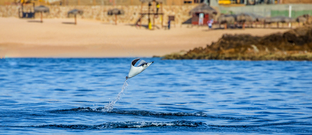 Mobula ray is a jumping in the background of the beach of Cabo San Lucas. Mexico. Sea of ??Cortez. California Peninsula. An excellent illustration.