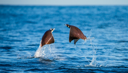 Mobula rays are jumps out of the water. Mexico. Sea of ??Cortez. California Peninsula. An excellent illustration.