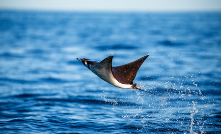 Mobula ray is jumps out of the water. Mexico. Sea of Cortez. California Peninsula. An excellent illustration. Stock Photo