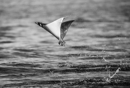 Mobula ray is jumps out of the water. Mexico. Sea of ??Cortez. California Peninsula. An excellent illustration.