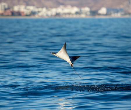 Mobula ray is a jumping in the background of the city of Cabo San Lucas. Mexico. Sea of ??Cortez. California Peninsula. An excellent illustration. Stock Photo