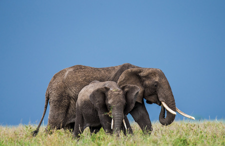 Group of elephants in the savannah. Africa. Tanzania. Serengeti National Park.
