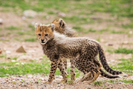 Cheetahs cub in Serengeti national park. Africa. Tanzania. Serengeti National Park.