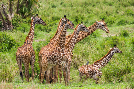 Group of giraffes in the savannah. Africa. Tanzania. Serengeti National Park.