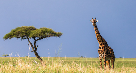The giraffe stands in the savannah. A classic picture. Africa. Tanzania. Serengeti National Park. Stock Photo