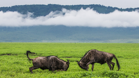 Two male wildebeest fight with each other in the Ngorongoro crater. Africa. Tanzania. Ngorongoro National Park. 스톡 콘텐츠