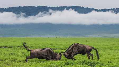 Two male wildebeest fight with each other in the Ngorongoro crater. Africa. Tanzania. Ngorongoro National Park. 免版税图像