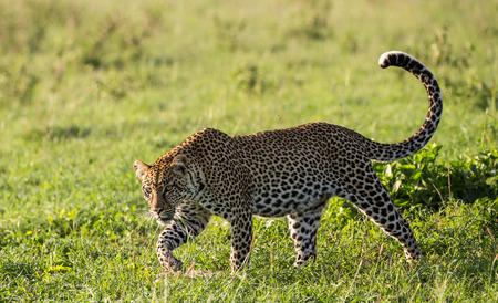 Leopard in the savannah. National Park. Kenya. Tanzania. Maasai Mara. Serengeti. An excellent illustration. Banque d'images