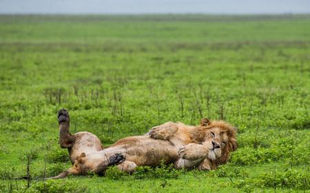 草の中に横たわっている大きな雄のライオン。セレンゲティ国立公園。タンザニア。優れたイラスト。