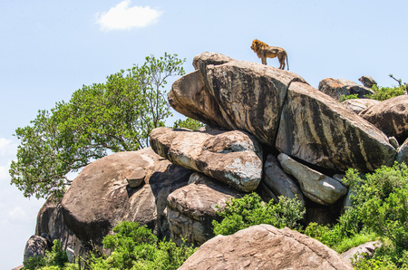 Big male lion on a big rock. Serengeti National Park. Tanzania. An excellent illustration.