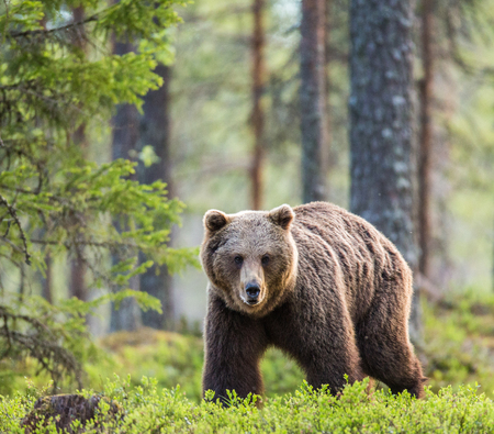 One bear in the background of a beautiful forest. Summer. Finland. Stock Photo