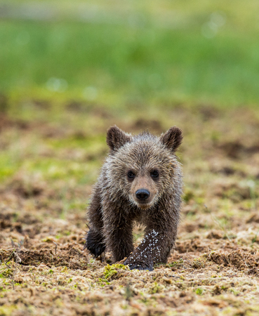 She-bear with cubs in the forest. Summer. Finland. Banco de Imagens