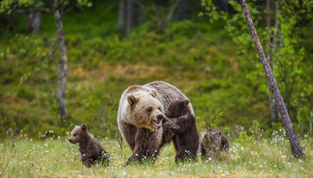 She-bear with cubs in the forest. Summer. Finland. Stock Photo