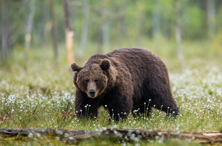 One bear on the forest. Summer. Finland.