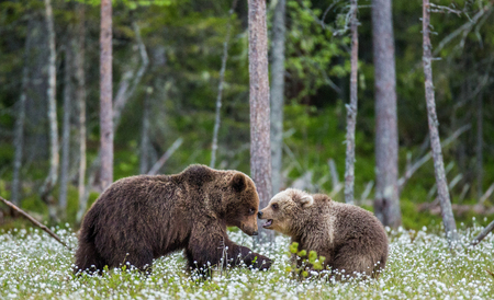 She-bear with a cub in a clearing among the white flowers on the forest background. Summer. Finland. Stock Photo