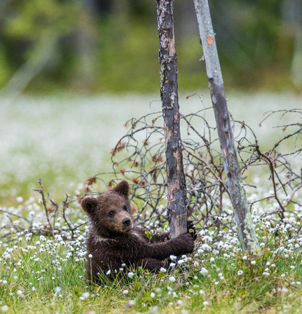 Bear cubs on a tree in the forest. Summer. Finland. Stock Photo