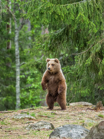 Bear stands on its hind legs and looks out into the distance. Summer. Finland.