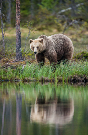 Bear near a forest lake with reflection on a beautiful forest background. Summer. Finland.