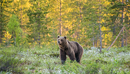 One bear in the background of a beautiful forest. Summer. Finland. Banco de Imagens