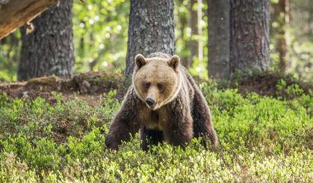 Young bear in the forest among the trees. Summer. Finland. Stock Photo
