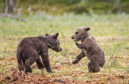 Two cubs play with each other. Summer. Finland.
