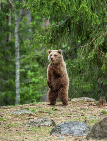 Bear stands on its hind legs and looks out to the distance in the middle of the forest. Summer. Finland.