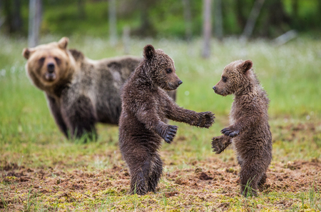 Two cubs play with each other next to the she-bear. Summer. Finland. Stock Photo