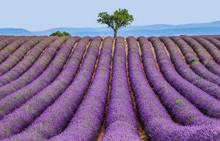 Lonely tree in the middle of a lavender field. France Provence Plateau Valensole.