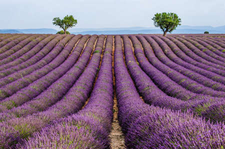 Picturesque lavender field against the backdrop of mountains in the distance. France Provence Plateau Valensole. Foto de archivo
