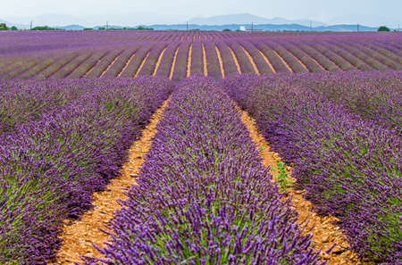 Fragment of a lavender field with picturesque bushes of lavender. France Provence Plateau Valensole.