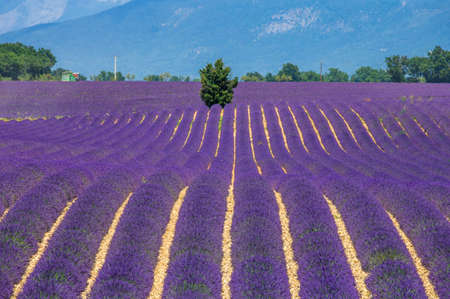 Picturesque lavender field against the backdrop of mountains in the distance. France Provence Plateau Valensole. Imagens