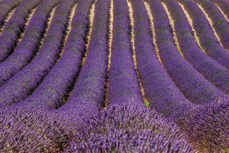 Picturesque lavender field. France Provence Plateau Valensole.