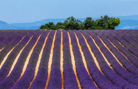 Picturesque lavender field against the backdrop of mountains in the distance. France Provence Plateau Valensole.