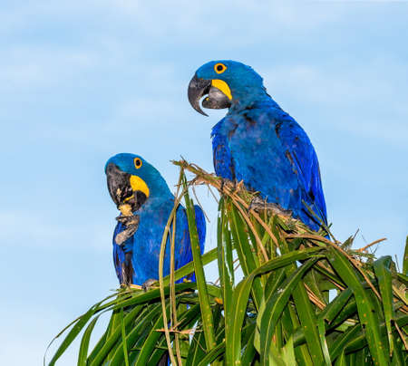 Two Hyacinth Macaws are sitting on a palm tree and eating nuts. South America Brazil Pantanal National Park.