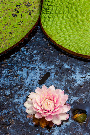 Leaves and flower of the largest water lily (Victoria amazonica) on the surface of the water. Brazil Pantanal National Park.