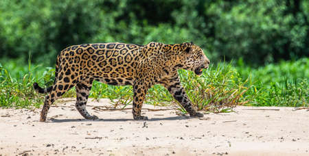 Jaguar is walking along the sand against the backdrop of beautiful nature. South America Brazil Pantanal National Park. Stock Photo