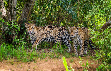 Two jaguars in the jungle. A rare moment. South America Brazil Pantanal National Park.