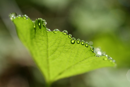 Rain drops on green leave in the sunshine, demonstrating the surface tension of water