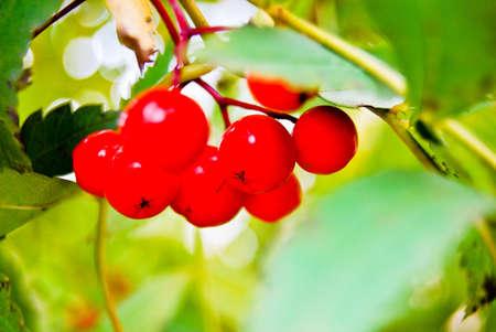 Berryes of rowan