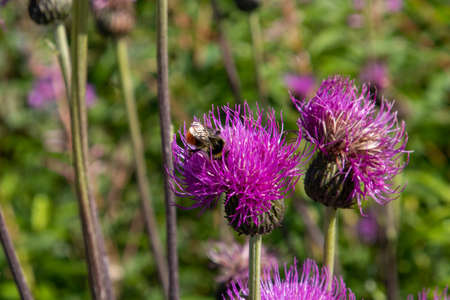Thistle with bumblebee