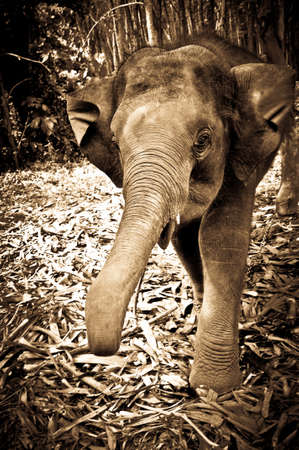 Young Elephant charging Photographer