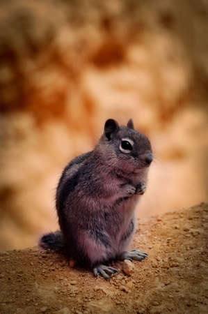 Chipmunk waiting in Bryce Canyon Stock Photo