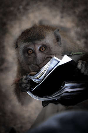 This Young Macaque Really Adores the Reading