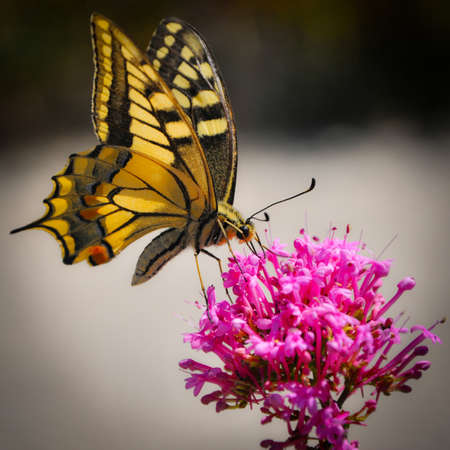 Yellow Butterfly Gathering a Pink Flower